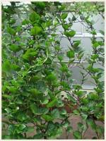 グリーンカーテンは花・野菜・果物どれにする?種類別おすすめ植物は?