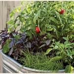ベランダ菜園は野菜とハーブのコンパニオンプランツの寄せ植えで