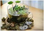 水草の小さな癒しボトリウムの魅力とアクアプランツの飾り方・植え方