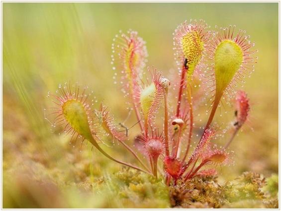 食虫植物 ドロセラ