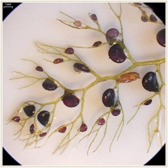 食虫植物 ウトリクラリア