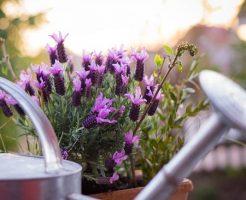 自宅のベランダでラベンダー畑!鉢植えやプランターでの育て方のコツ