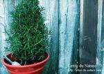 ローズマリーの鉢植えと地植えどっちがいい?初心者にも簡単な育て方