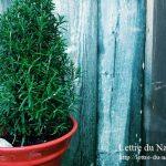 ローズマリーの初心者にも簡単な育て方|鉢植えと地植えどっちがいい?