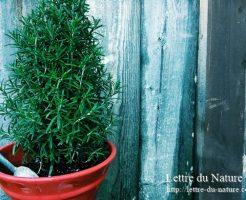 ローズマリー鉢植え