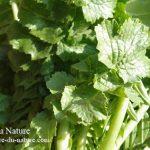 大根の葉は捨てずに干す!保存食や野草茶と入浴剤に大活躍 作り方と効果