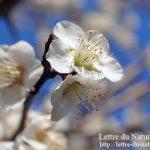 水戸偕楽園梅まつり2017|梅と桜とツツジが同時の見頃とオシャレなカフェは?