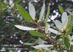 ローリエの葉の栄養と効果効能 生葉の使い方や乾燥の日数と保存方法は?