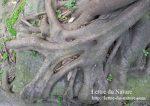 ガジュマルの木の育て方|根腐れしない植え替えと挿し木や剪定のやり方