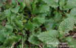 レモンバームの育て方は初心者でも簡単|地植えや鉢植えの種まきのやり方