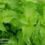 大葉の育て方|ベランダ菜園初心者でもプランターで苗や種から簡単!
