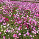昭和記念公園のコスモス2017の開花状況や見頃時期は?駐車場も!