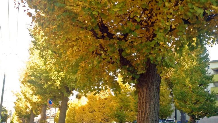 奈良の紅葉,天理市街のイチョウ並木